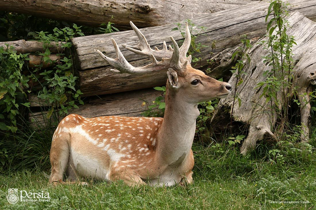 Persian Fallow Deer - Iran Wildlife - Persia Advisor Travels