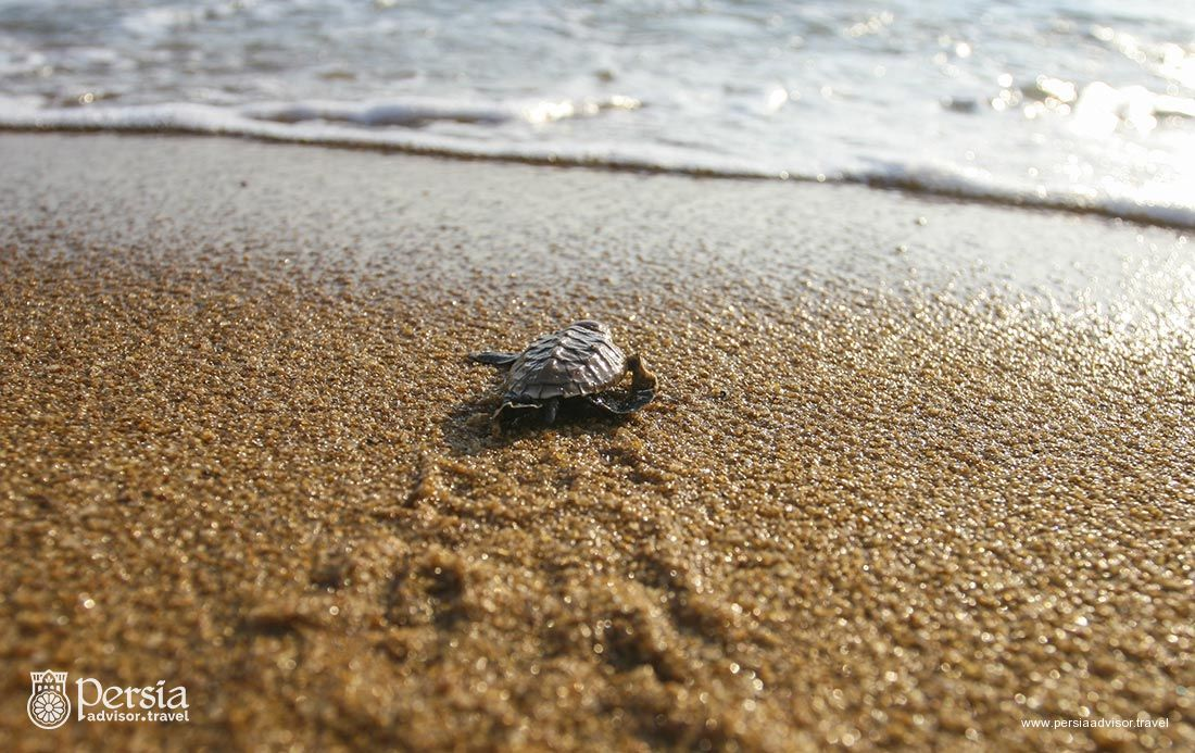 Baby Turtles (Hawksbill Sea Turtle) Popped Out of the Sand and Waddled Toward the Ocean, Iran - Persia Advisor Travels